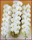 胡蝶蘭 3本立ち48輪以上