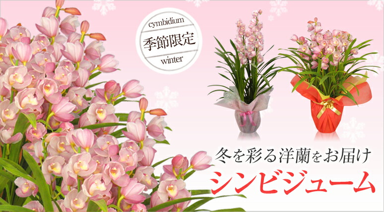 季節限定 冬を彩る洋蘭をお届け シンビジューム
