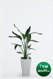 観葉植物オーガスタ(ニコライ)7号※ 白角陶器鉢 ¥12,600(税抜)【送料無料】