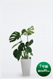 観葉植物モンステラ  7号※ 白角陶器鉢 ¥12,600(税抜)【送料無料】