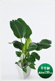 観葉植物オーガスタ(ニコライ)8号※ 白角陶器鉢 ¥15,750(税抜)【送料無料】