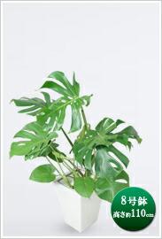 観葉植物モンステラ 8号 ※ 白角陶器鉢 ¥15,750(税抜)【送料無料】