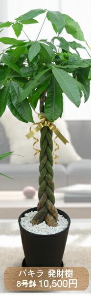 パキラ 発財樹 8号鉢 10,500円