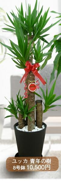 ユッカ 青年の樹 8号鉢 10,500円