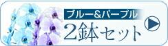 エレガンス胡蝶蘭 2鉢セット