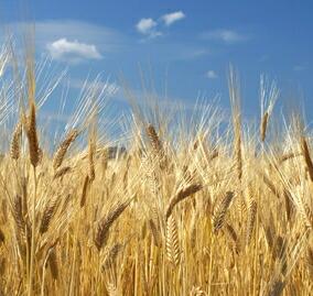 大麦の風景