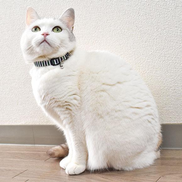 【猫】【首輪】白い毛色に鮮やかな首輪が映えます