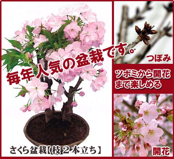 さくら盆栽!自宅でお花見!  Click!