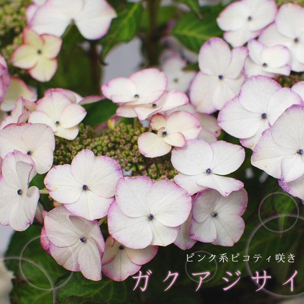绣球花粉红色系列 5,4 倍