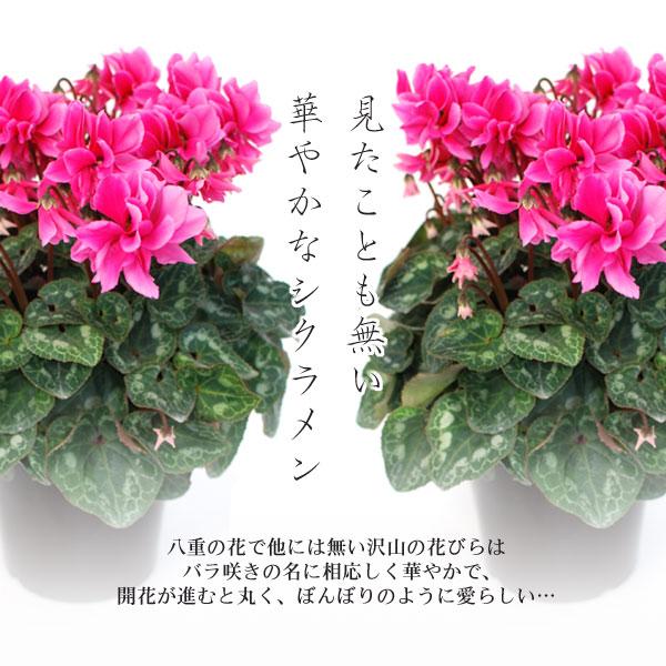 シクラメンの画像 p1_36