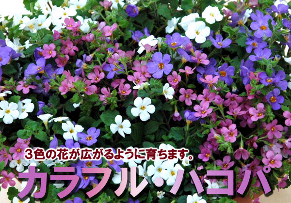 kajoen rakuten global market colorful remix bacopa plants one three colors white lavender. Black Bedroom Furniture Sets. Home Design Ideas