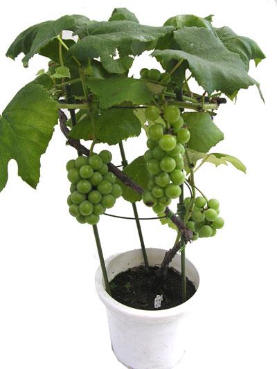 葡萄属于p的果实盆栽