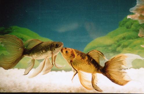 色物鉄魚noritetu