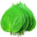 ◆ 냉장고 ◆ 참 잎 대략 20 장 시장: 대한민국 식품. 대한민국 요리/대한민국 식재료/대한민국 야채/장 참 깨 잎/えごま 잎/ケッニプ