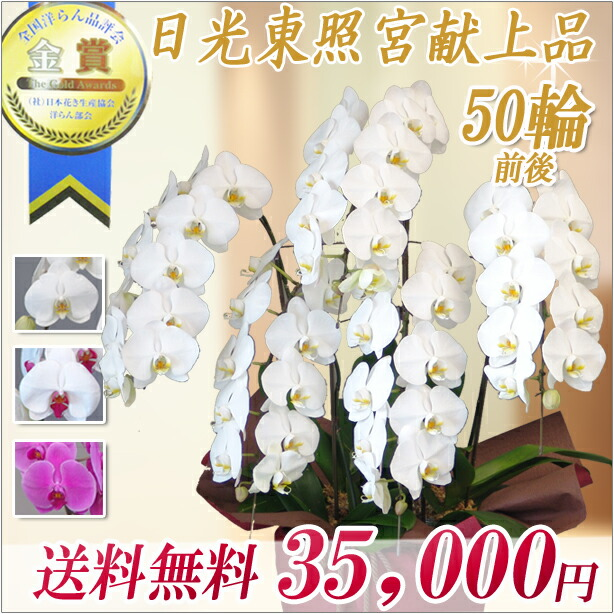 大輪コチョウラン5本立 35,000円