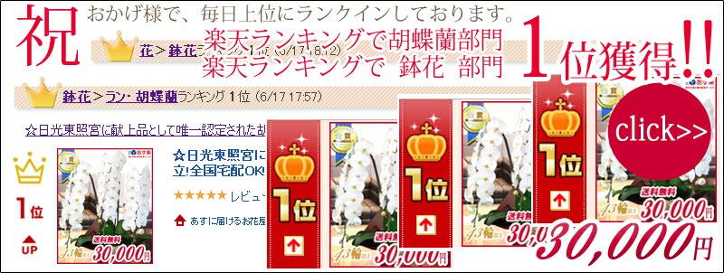 楽天ランキング1位 大輪胡蝶蘭3本立ち30,000円