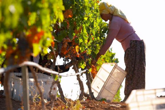 トルコ・ブドウの収穫