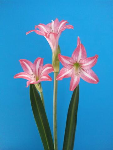 客人可以享受一种香味,可爱的小花.它推销我们的托儿所的品种 !