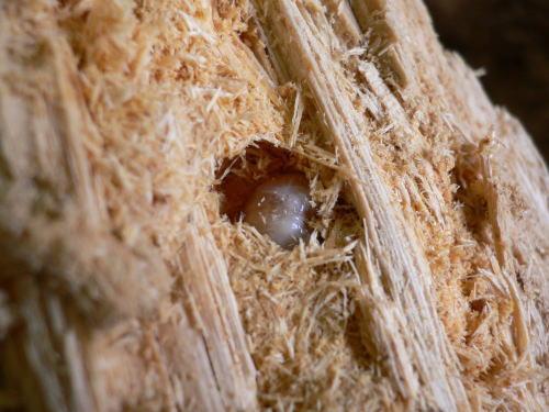 割り出した瞬間の国産オオクワガタ幼虫