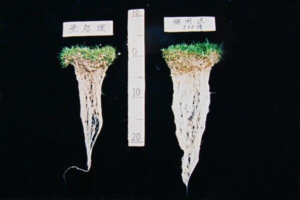 芝生の根張り比較その1
