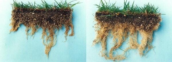 芝生の根張り比較その2