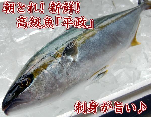 朝とれ!新鮮!高級魚「平政(ヒラマサ)」
