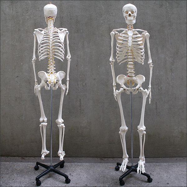 """是人体骨骼模型""""人类头骨"""