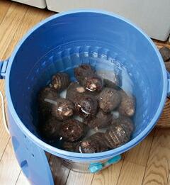 バケツ型洗浄槽に里芋を入れて...