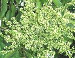 ソープナッツの花