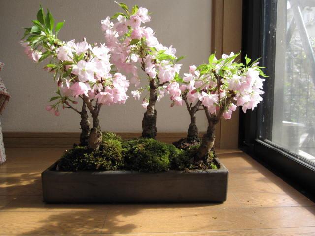 Условия для выращивания сакуры 771