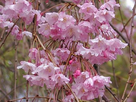 yoshino cherry tree pictures. double weeping cherry tree