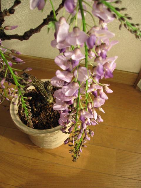 紫藤图片欣赏盆景