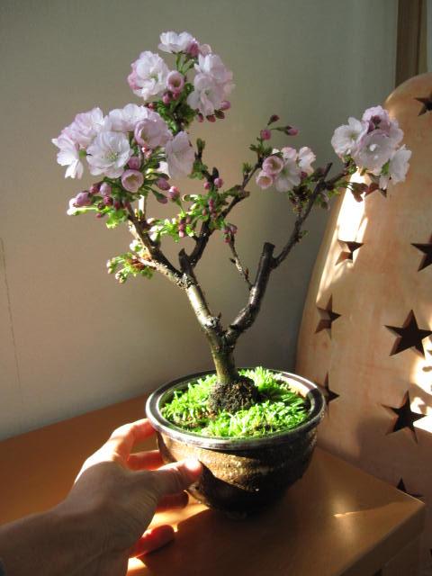 Как сажать сакуру из семян 95