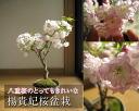 花 盆栽 花卉盆景 樱桃图片