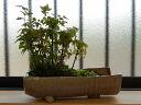 靠近,并且栽种,并且含枫树盆景信乐钵