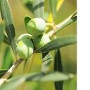10% off   olive Oriental fragrance / 10 ml