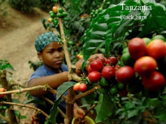 タンザニア/ブラックバーン農園