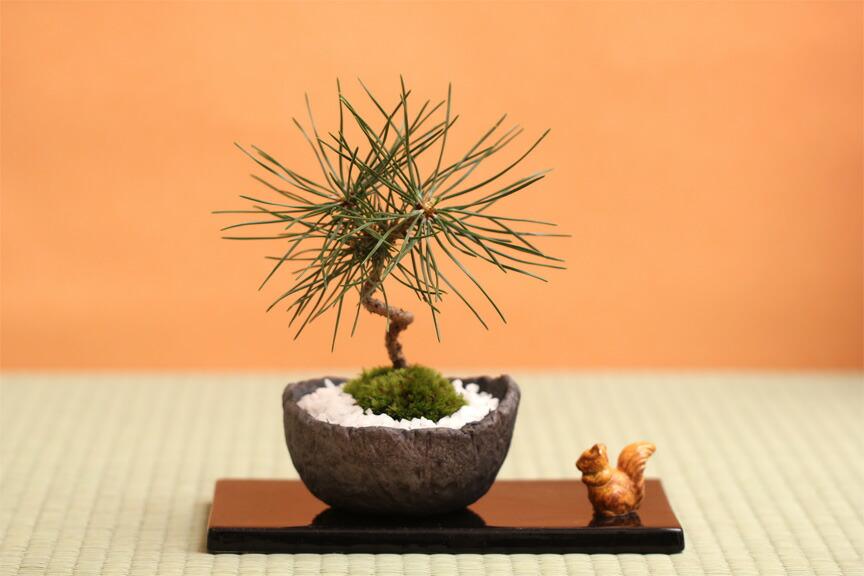 松树的叶片和茎 迷你盆景种植黑松林
