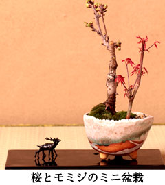 デショウジョウさくら盆栽