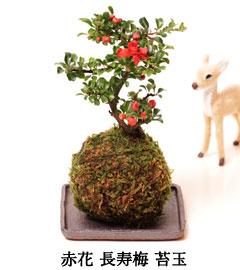 長寿梅苔玉盆栽