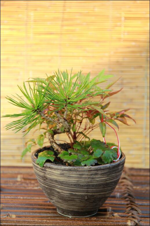 室内盆景松树 室内盆景松树养殖方法 室内盆景松树养殖技术-铜钱树盆
