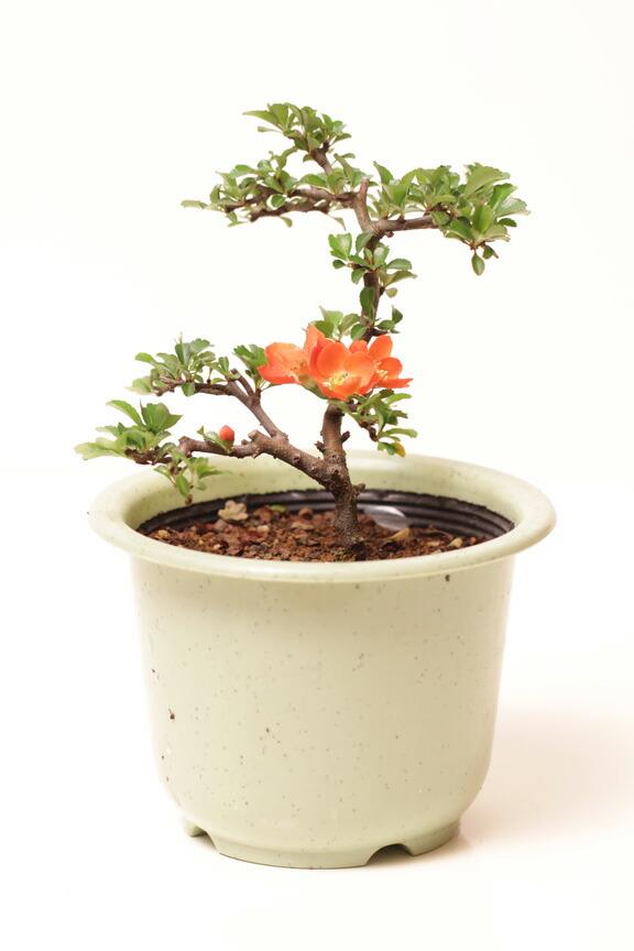 您可以选择长梅花盆栽植物花卉