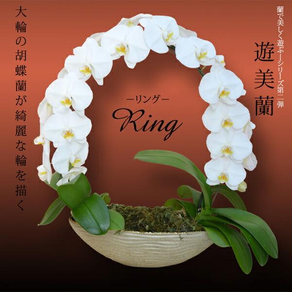 豪華大輪めずらしい円を描く胡蝶蘭