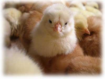 国産鶏のひよこ