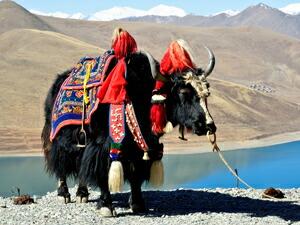 チベット ヤク ヤック