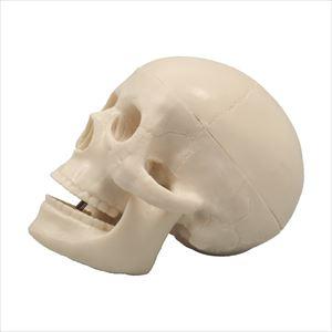 小型頭骸骨模型 9701 P12Sep14