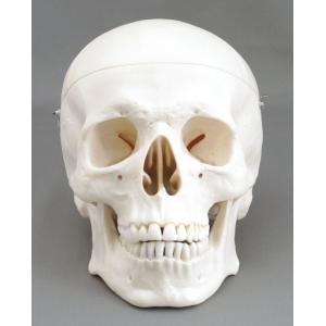 アシスト 頭蓋骨模型(標準型3分解モデル) 14403 P12Sep14