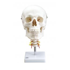 アシスト 頭蓋骨模型(標準型4分解モデル) 14404 P12Sep14