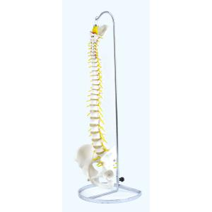アシスト 可動型脊椎模型(標準モデル) 14405 P12Sep14