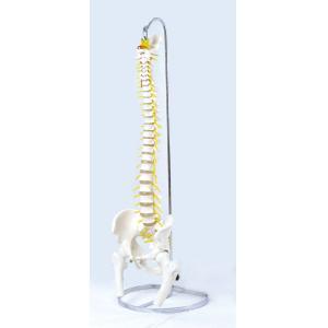 アシスト 可動型脊椎模型(大腿骨付モデル) 14406 P12Sep14